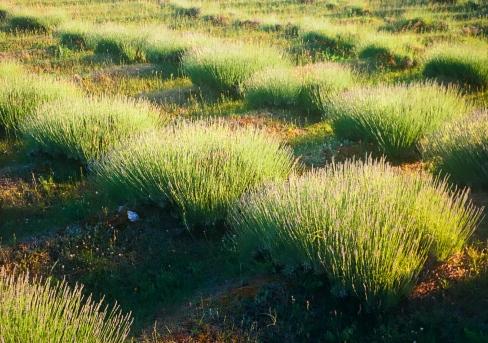 lavender labyrinth, Olympus Pen, Ektar 100 film