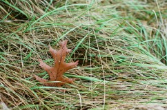 Oak leaf in meadow grass, Minolta SRT 102, Kodak GC 400
