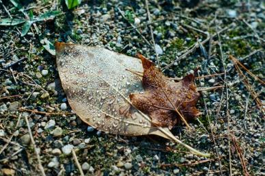 Dew drops after frost, Pentax K1000, Ektar 100