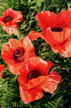 just poppies from Barb's garden, Minolta SRT 102
