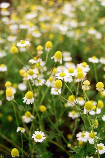 chamomile in Barb's garden, Minolta SRT 102