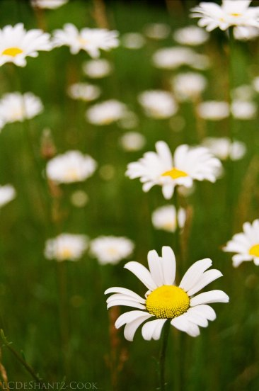 ox-eye daisies, Minolta SRT 102