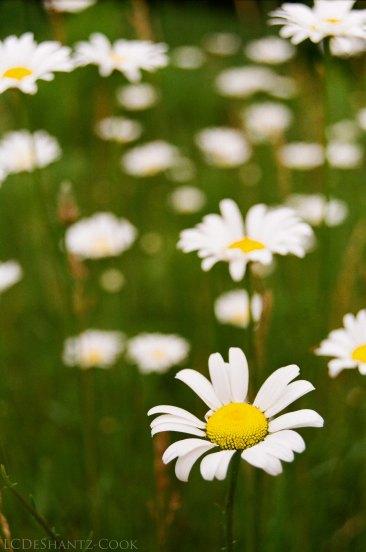 ox-eye daisies, Minolta SRT 102