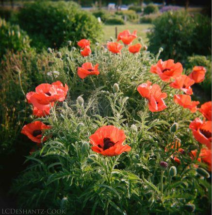 and more poppies, Holga