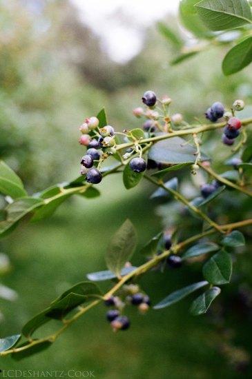 west Michigan blueberries, Minolta SRT 102, Kodak ColorPlus