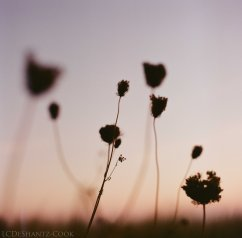 sunset and Queen Anne's lace, Bronica SQ-A, Lomography 100