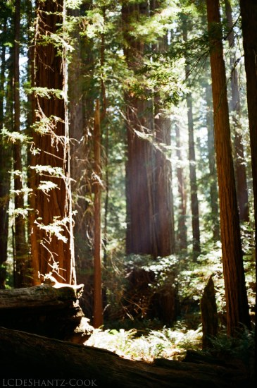 redwoods, Kodak ColorPlus, Minolta SRT 102