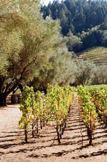 Napa vineyard, Kodak ColorPlus, Minolta SRT 102