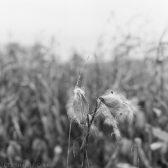 milkweed pod and seed, Bronica SQ-A, Ilford FP4+